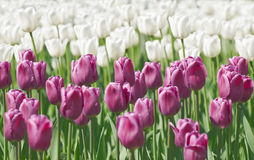 Lilac and white tulips Royalty Free Stock Photos