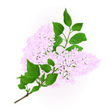 Lilac white twig with flowers and leaves vintage hand draw natural background vector Royalty Free Stock Image