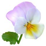 Lilac-white viola flower Royalty Free Stock Image