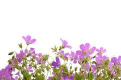 Lilac wild flowers Royalty Free Stock Photos