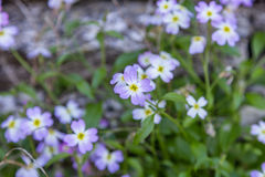 Lilac wild flowers Royalty Free Stock Photo