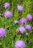 Lilac wild flowers of Transbaikalia Stock Image