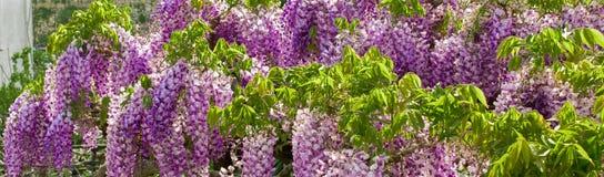 Lilac Wisteria bloeit patroon, textuur, achtergrond royalty-vrije stock foto
