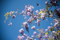 Lilac  Wisteria flower Royalty Free Stock Images