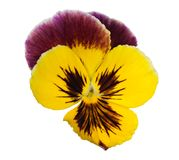 Lilac and yellow pansy on white Royalty Free Stock Image