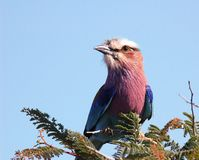 Lilacbreasted roller. At Kruger National park, South Africa Stock Photos