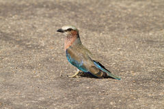 Lilacbreasted Roller Royalty Free Stock Images