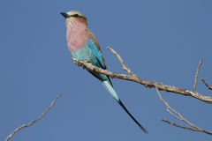 Lilacbreasted Roller. Coracias Caudata : South Africa Royalty Free Stock Image