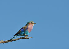 Lilacbreasted Roller. (Coracias caudata) in the Kruger Park, South Africa Royalty Free Stock Photo