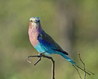 Lilacbreasted Roller. A Lilacbreasted Roller on a branch in the subtropical area of the Kruger National Park, South Africa royalty free stock image