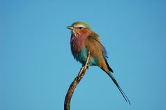 Lilacbreasted Roller. In the Kruger National Park, South Africa stock photos