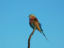 Lilacbreasted Roller in Africa. Lilacbreasted Roller (Coracias Caudata) in the Kruger National Park, South Africa stock photo