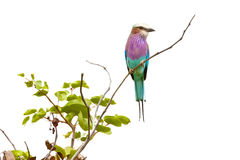 Lilacbreasted roller bird Royalty Free Stock Photos