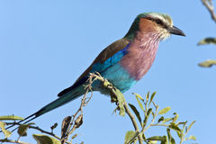 Lilacbreasted Roller - Botswana Stock Photo