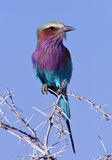 Colorful Bird - Lilacbreasted Roller - Namibia. Lilacbreasted Roller (Coracias caudatus) in Etosha National Park in Namibia Stock Image