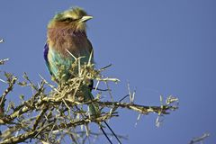 Lilacbreasted Roller (Coracias caudatus). Perched on a branch in Namibia Stock Image