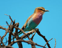 Lilacbreasted Roller looking to right. A Lilacbreasted Roller on top of a tree looking to the right Royalty Free Stock Image