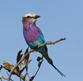 Lilacbreasted Roller - Okavango Delta Stock Image