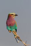 Lilacbreasted roller sit on the knot Stock Photos