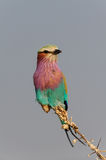 Lilacbreasted roller sit on a knot, etosha nationalpark, namibia Stock Images