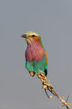 Lilacbreasted roller sit on a knot, etosha nationalpark, namibia. Coracias caudata Royalty Free Stock Photography