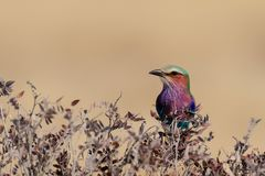 Lilacbreasted roller sit on a tree, etosha nationalpark, namibia Stock Photos