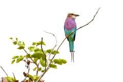 Lilacbreasted rolownika ptak Zdjęcia Royalty Free