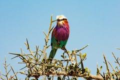 Lilacbreasted rullfågel, Tanzania arkivfoto