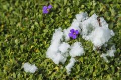 Lilacbush täckte med snö arkivfoton