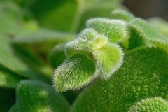 Lilacina Episcia Стоковые Изображения RF