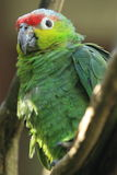 Lilacine amazon parrot Stock Images
