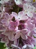 Lilackbloemen Royalty-vrije Stock Afbeeldingen