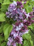 lilacs Imagens de Stock