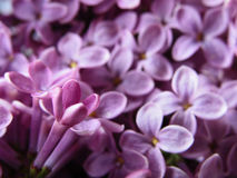 Lilacs Stock Photo