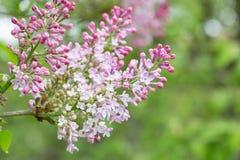 lilacs Imagens de Stock Royalty Free