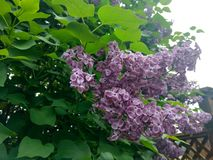 lilacs fotos de stock