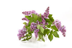 Lilacs. Portrait view of a vase of freshly cut lilacs on a white background Stock Photo
