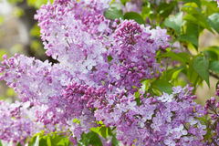 Lilacs. Beautiful spring lilacs in full bloom Royalty Free Stock Images