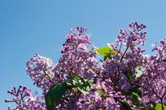 Lilacs. Vibrant Purple Lilacs against a bright blue sky Stock Photo