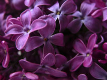 Lilacs. A bunch of lilacs Royalty Free Stock Photos