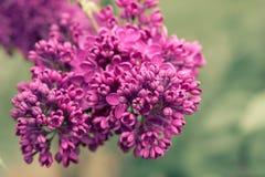 lilacs Fotografia de Stock