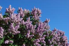 Lilacs. Blossom contrast to blue sky Royalty Free Stock Photos