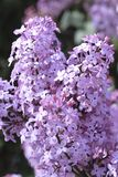 Lilacs Stock Photos
