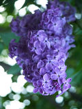lilacs Fotos de Stock Royalty Free