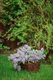Lilacs in basket on the green lawn in spring garden Royalty Free Stock Photography