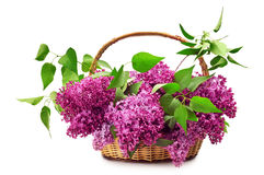 Lilacs in a basket. Isolated on a white background Royalty Free Stock Image