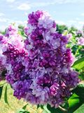 Lilacs. Beautiful pink lilac flowers in the spring stock image