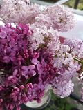 Lilacs. Beautiful purple pink lilacs summer Royalty Free Stock Photos