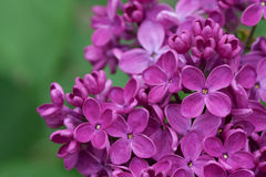 Lilacs Stock Photography