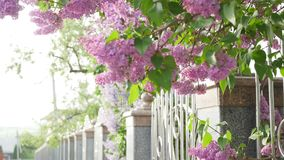 The lilacs bloom. Double-flowering lilac. The wind sway the branches with beautiful flowers.  stock footage